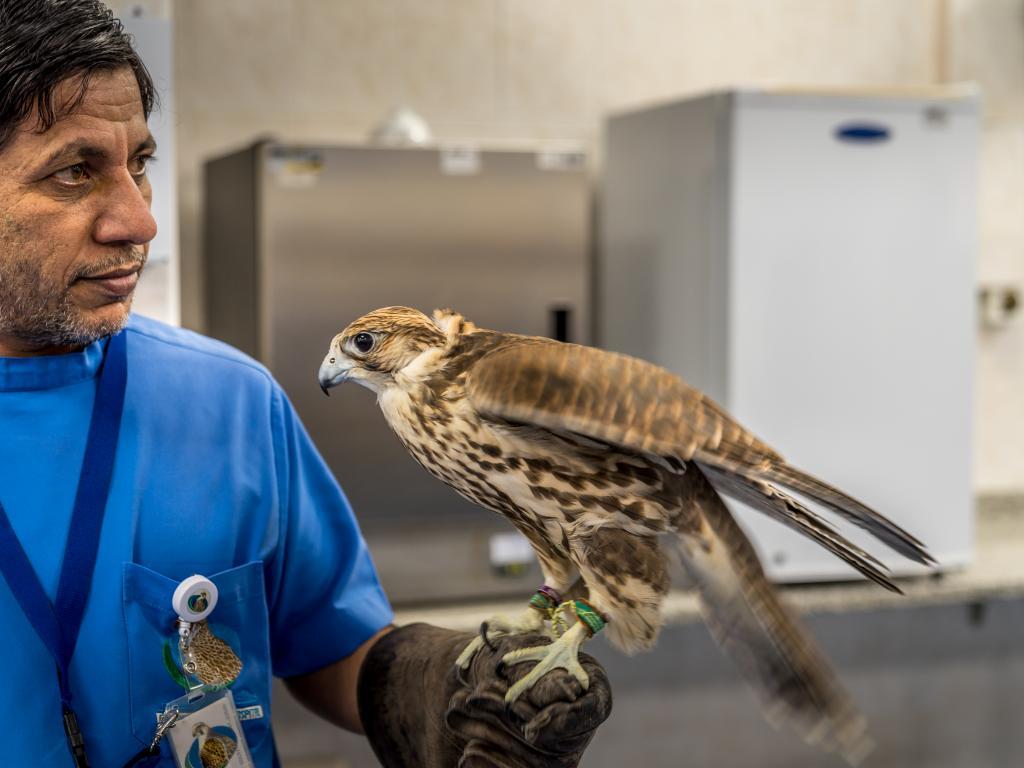 Ein Falke im Abu Dhabi Falcon Hospital