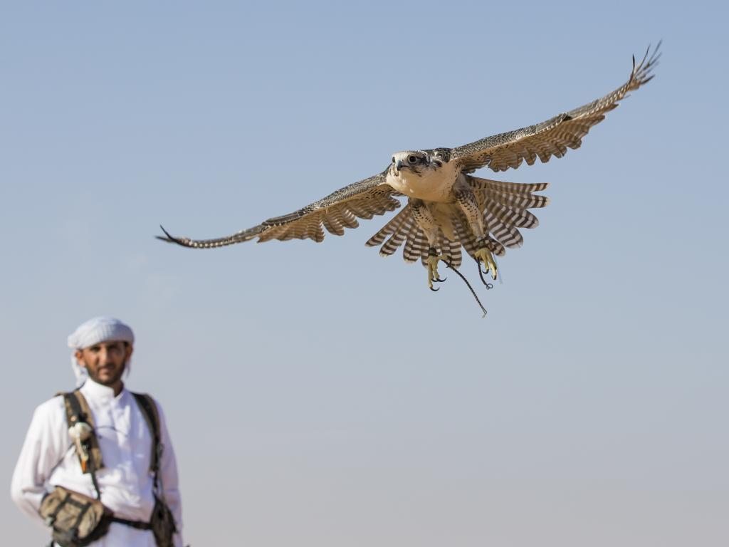 Ein Falke mit Trainer