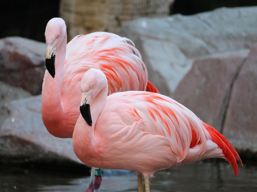 Die wunderschönen Flamingos