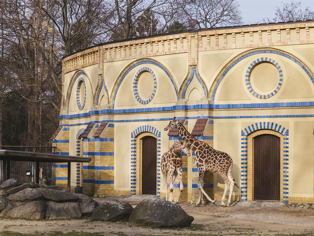 Giraffen im Berliner Zoo